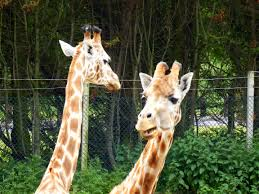 Drunk Giraffe Meme - caption meme the photos time album on imgur