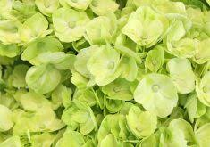 Lime Green Flowers - download lime green flowers solidaria garden