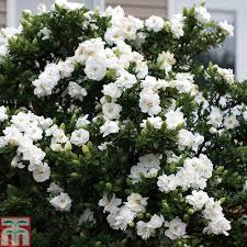 gardenia u0027crown jewels u0027 plants thompson u0026 morgan