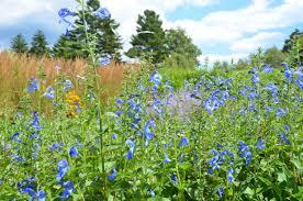 Boothbay Botanical Gardens by Salvia Patens U0027patio Deep Blue U0027 At Coastal Maine Botanical Gardens