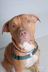 american pitbull terrier 7 months ollie american pit bull 1 year 7 months 3 weeks for sale in