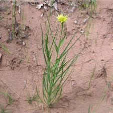 flagstaff native plant and seed salsify u2014 northern arizona invasive plants