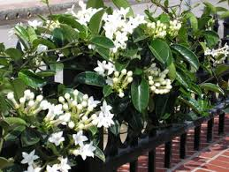 stephanotis flower stephanotis floribunda madagascar wax flower buy