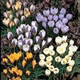 50 x puschkinia libanotica bulbs russian snowdrops spring