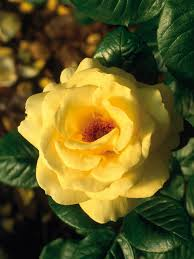The Most Fragrant Plants - the most fragrant roses types of roses hgtv