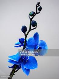 blue orchid flower beautiful blossoming branch blue orchid flower stock photo getty