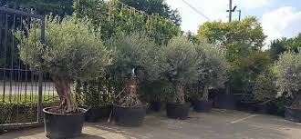 ancient olive trees for sale uk buy uk irl