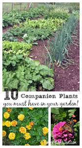 Companion Vegetable Garden Layout by Companion Plants You Must Have In Your Vegetable Garden Simplify