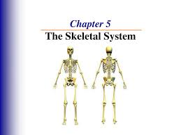 ppt chapter 5 the skeletal system powerpoint presentation id