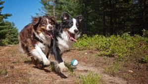 australian shepherd dogtime 10 things to do with your dog before summer ends dogtime