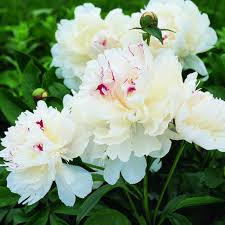 Peonies Flower 164 Best Garden Peonies Images On Pinterest Flowers Flowers