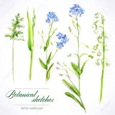botanical watercolor sketches of wild grasses and flowers royalty