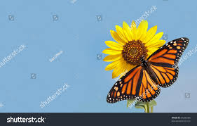 Monarch Design by Monarch Butterfly On Sunflower Against Clear Stock Photo 97256588