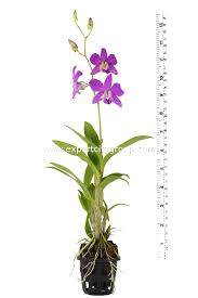 orchid plants dendrobium orchid plants 12inch with bloom buy orchid plant