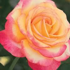 mardi gras roses oregon among all america selections salem news