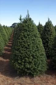 douglas fir christmas tree s griffinus family farm the perfect