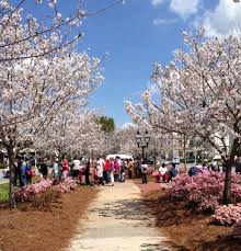 this small town in is actually the cherry blossom capital