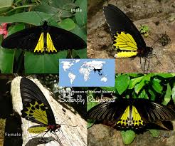 id guide black butterflies exhibits