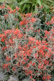 Hummingbird Plant Plantfiles Pictures Hummingbird Plant Uruguayan Firecracker
