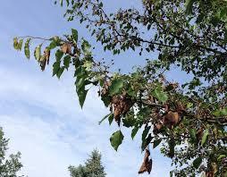 deadly blight in flowering pear trees still a problem purdue