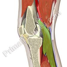 3d Knee Anatomy Product Image Gallary Page 3d Human Anatomy Software For Medical