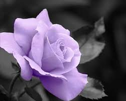 purple roses purple roses hd desktop background