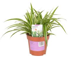 verve spider plant in plastic pot departments diy at b u0026q