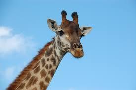 sonido de la jirafa es amplificado sound of the giraffe