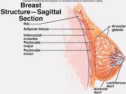 Female Breast Anatomy And Physiology 31 Best Female Anatomy Images On Pinterest Female Reproductive