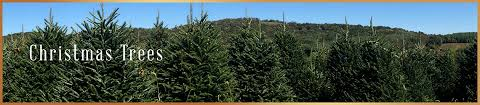 real christmas trees for sale real christmas trees for sale real christmas trees delivered