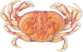 dungeness crab wild alaska seafood
