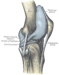 Back Knee Anatomy Anatomy The Function Of The Knee Is Dependent On Many Structures