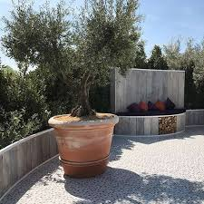 olive trees for sale villaggio verde national growers of olive trees