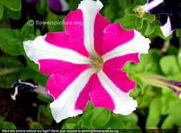 petunia flowers ultra flower