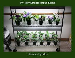 african violet grow light african violet growing tips tricks from hoovers hybrids stand