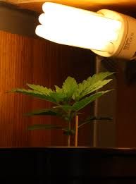 cfl grow lights for indoor plants autoflower growing