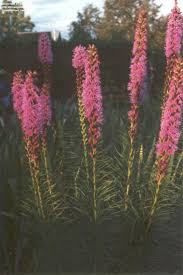 plants native to kansas 147 best galveston native plants images on pinterest native