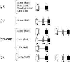 difference between kappa and lambda light chains immunoglobulin light igl chains in ectothermic vertebrates
