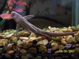 aquarium catfish species of types of aquarium catfish species in