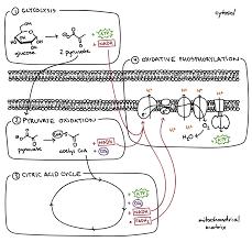 steps of cellular respiration biology article khan academy