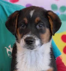 rescue an australian shepherd puppy nevada spca animal rescue 3 adorable australian shepherd mix