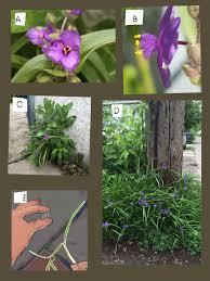 distracted naturalist backyard native weeds spiderwort