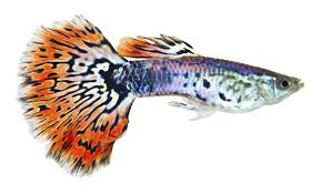 outstandingly amazing facts about guppy fish