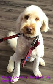 8 best cockapoo mypetgroomer co uk images on pinterest cockapoo