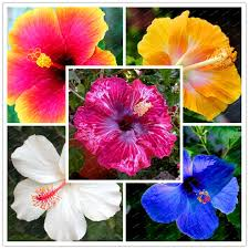 200 seeds bonsai hibiscus flower seeds mixed different colors