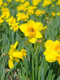 bulk buy daffodil u0026 narcissi loose bulbs u2013 quality daffodil