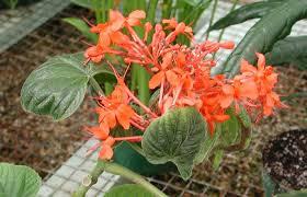 vascular plant image library verbenaceae