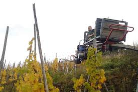 getting down and dirty with the mosel riesling harvest part 2