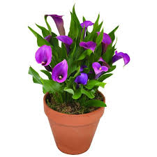 calla lilies buy calla lily bulbs u2013 harris seeds