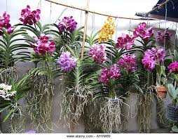 orchids for sale orchids sale in chatuchak market stock photos orchids sale in